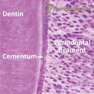 Microscopic image of periodontal ligament fibers
