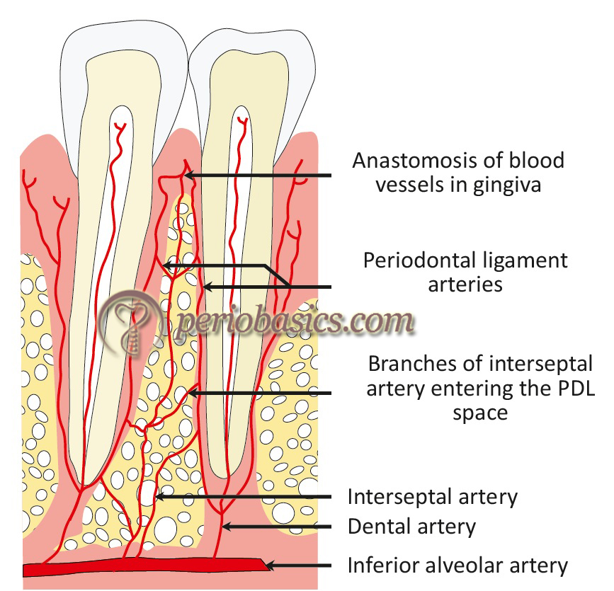 The blood supply of teeth and periodontal ligament
