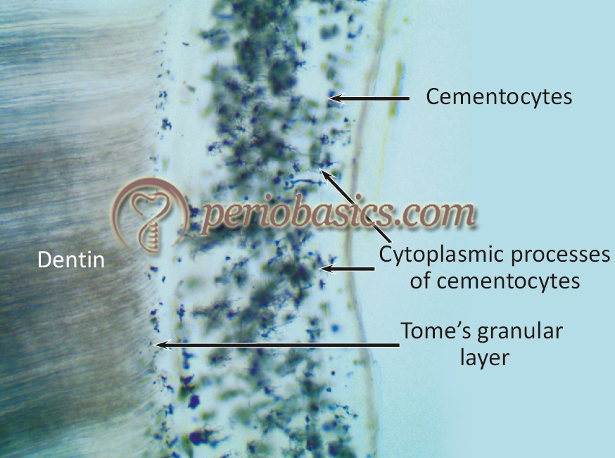 The ground section of tooth under high magnification showing cementocytes and Tomes' granular layer