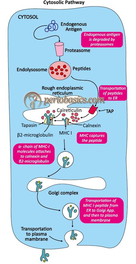 Cytosolic pathway of antigen presentation by antigen presenting cells