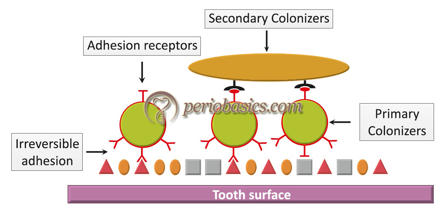 Diagrammatic representation of initiation and maturation of plaque showing attachment of secondary colonizers.