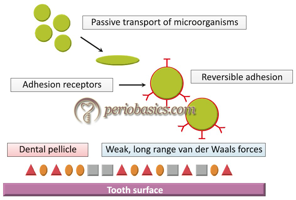 Diagrammatic representation of initiation and maturation of plaque. The primary colonizers bind reversibly to dental pellicle components initially by weak van der Waals forces.