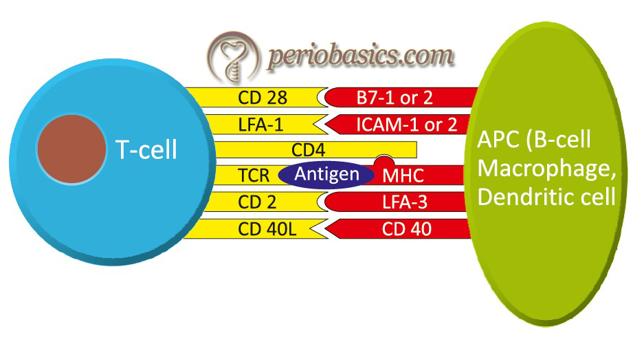 Interactions between T-cell receptor and MHC proteins on antigen presenting cells