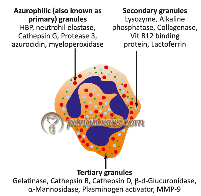 Structure of a Neutrophil