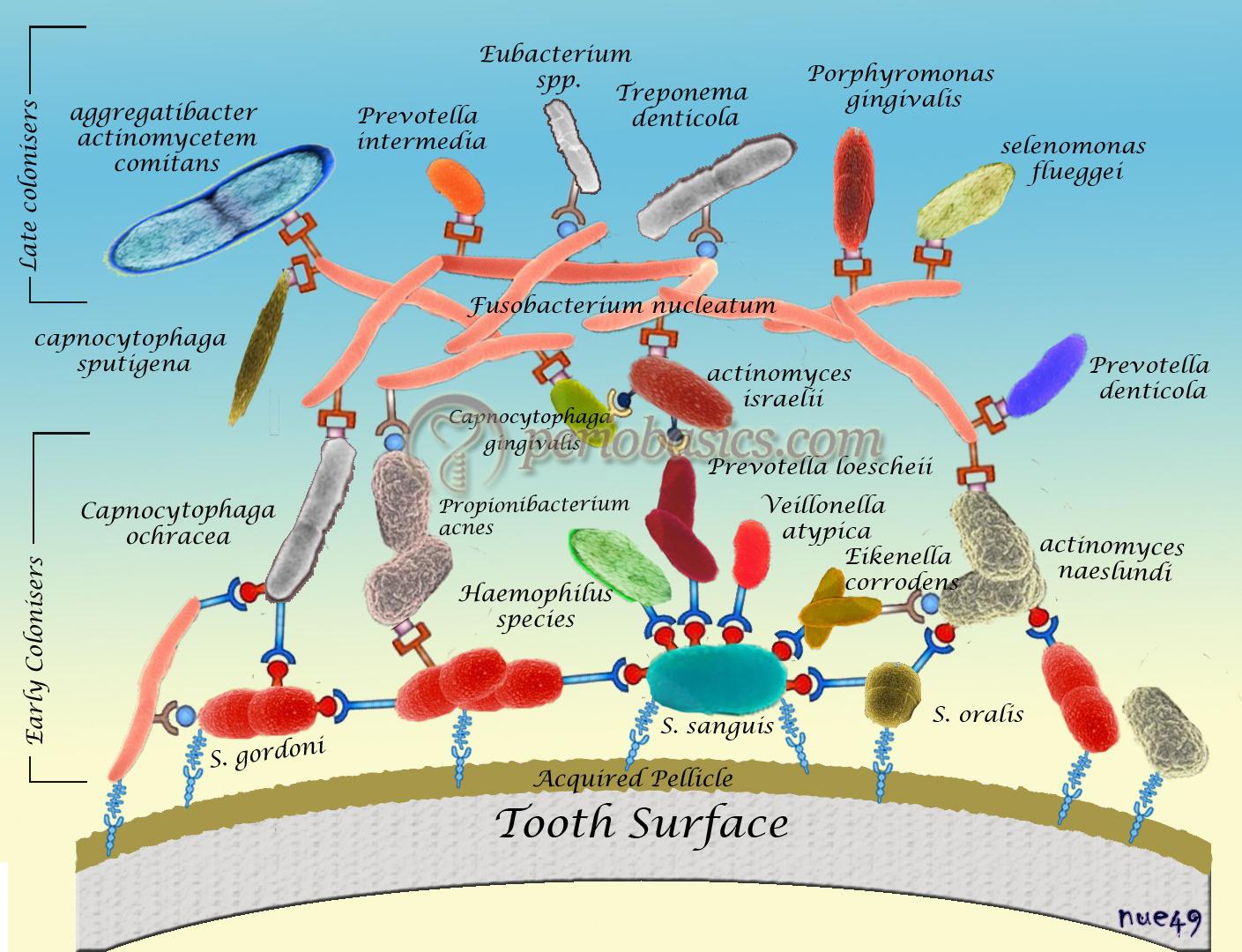 Diagrammatic representation of bacterial colonization in an established dental plaque.