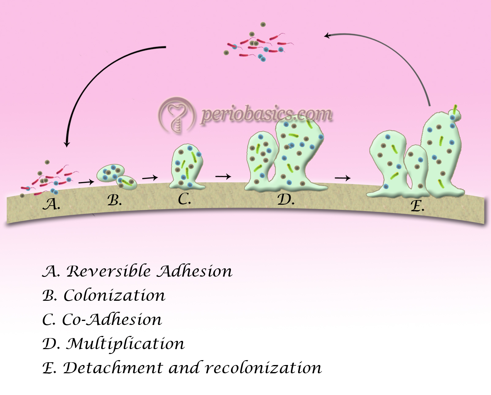 Various steps in biofilm formation starting with reversible adhesion followed by colonization, co-adhesion, multiplication and finally detachment and re-colonization
