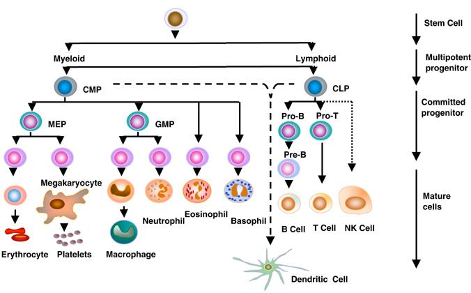 stem-cell Differentiation