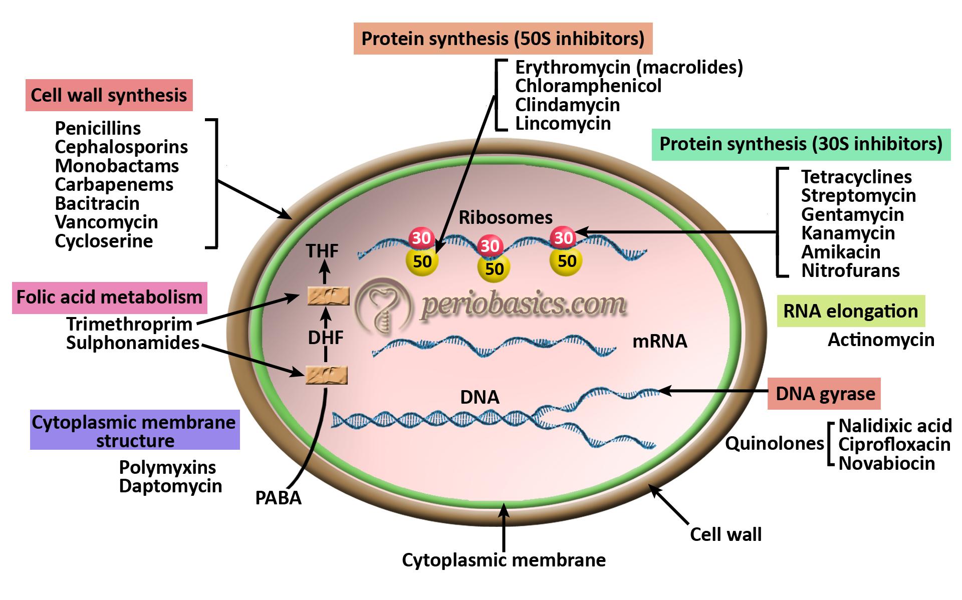 Mechanism of action of antibiotics copy