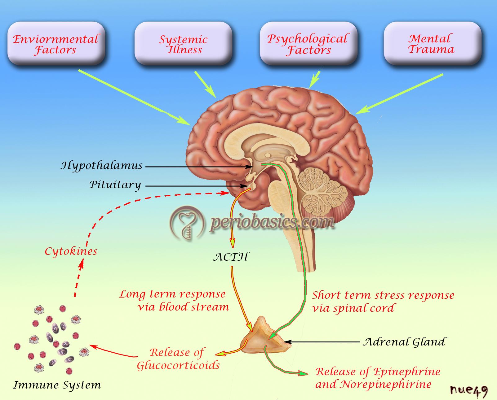 Stress pathophysiology