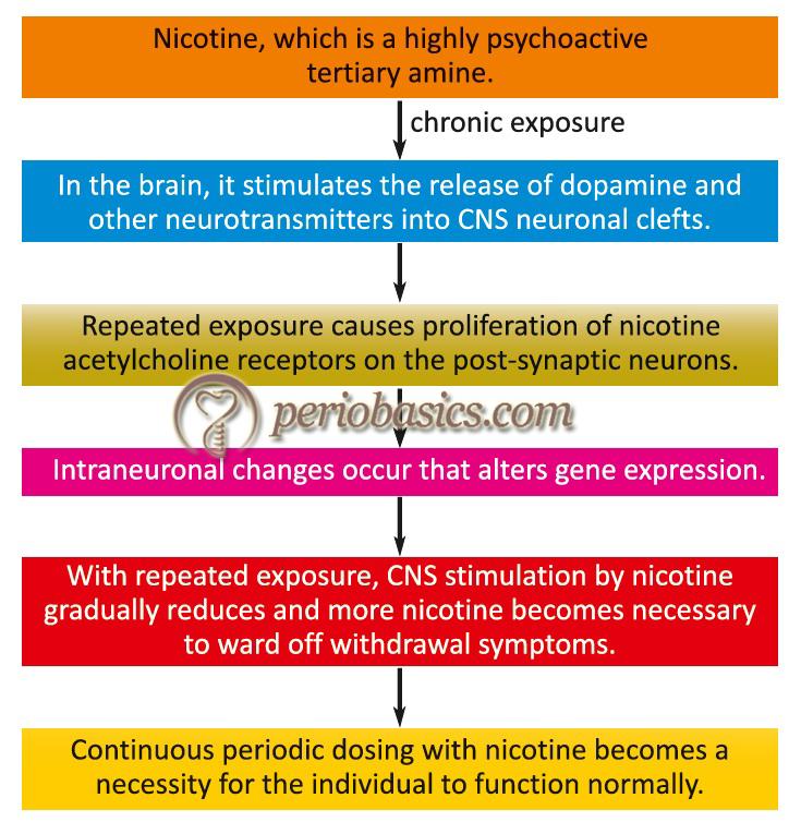 The mechanism of nicotine addiction.