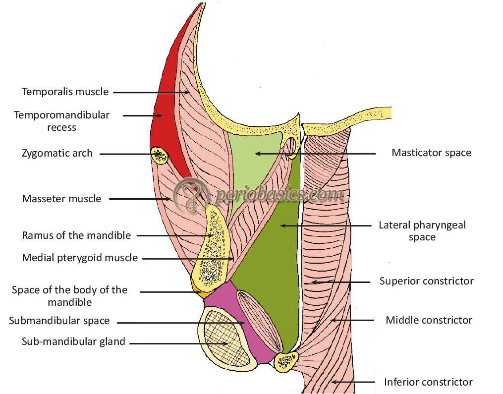 The potential spaces for the spread of infection in orofacial region.