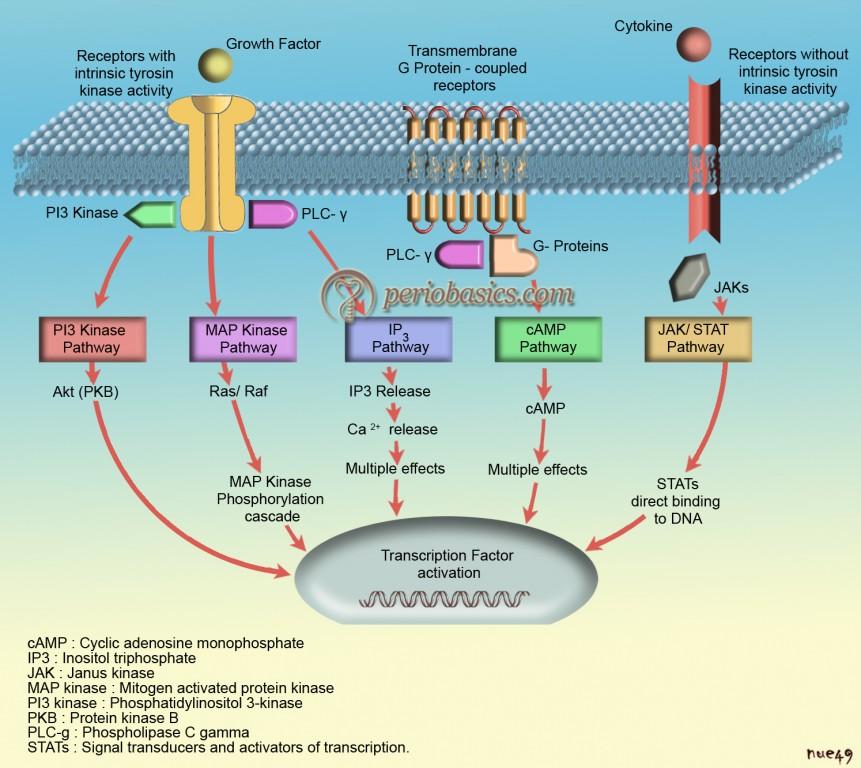 Intracellular signalling cascade
