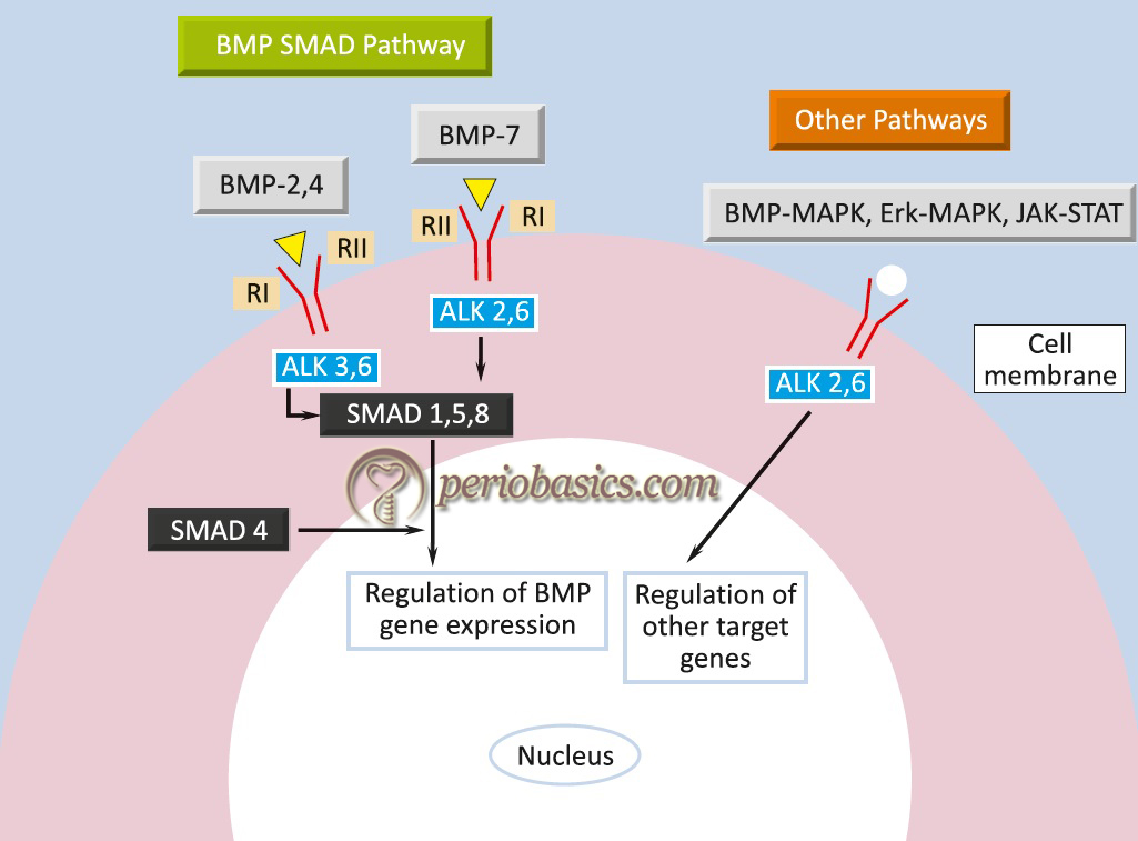 The signaling mechanism of the bone morphogenetic proteins (BMPs).